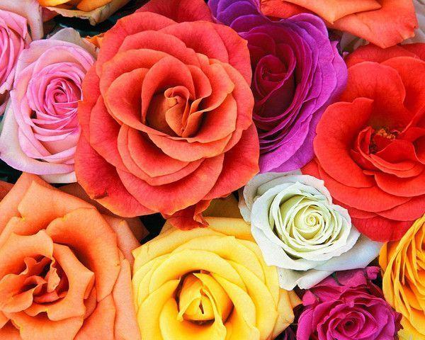 des roses et des chansons...